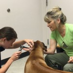 Chin rest for vet student ear exam July 2016